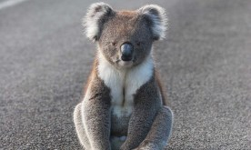 img-koala-sitting-on-road1000px